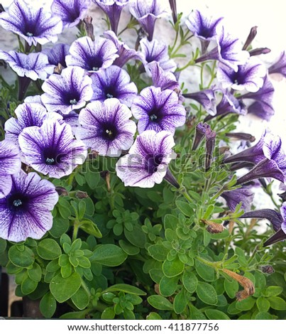 Blooming petunia plants with lush and bright blue flowers climbing on the outside wall - stock photo