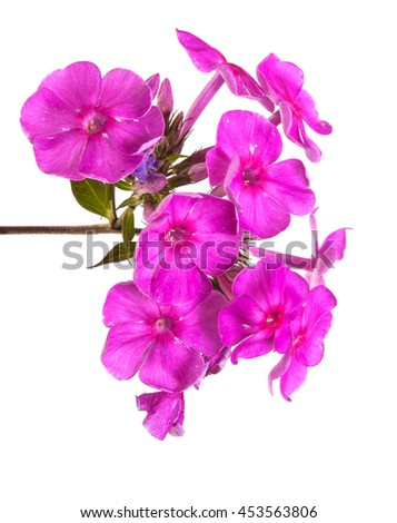 blooming phlox isolated on white background - stock photo