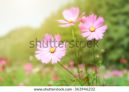 Blooming pink cosmos flower in green field - stock photo