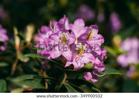 Blooming Pink Flowers of Rhododendron catawbiense Michx In Spring Garden