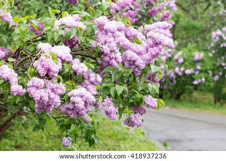 Blooming pink lilac bushes after rain outside in garden park. Perfect for gardening, nature blog. Shallow focus - stock photo