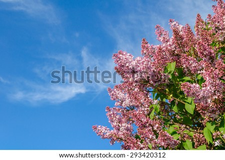 Blooming pink lilac on a background of blue sky - stock photo