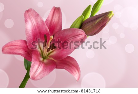 Blooming pink lily  on  artistic  background