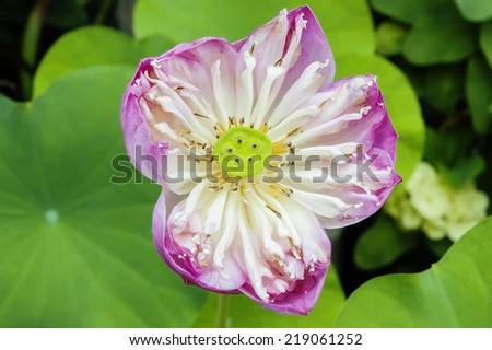 Blooming Pink Lotus Flower and its seed pod, Thailand. - stock photo