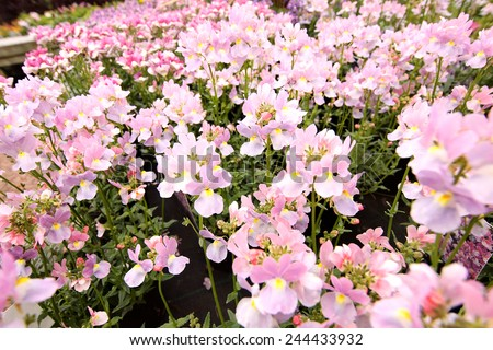 Blooming pink Nemesia bedding flowers close-up  - stock photo