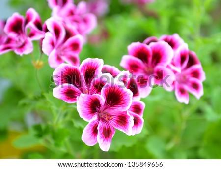 Blooming pink pelargonium - stock photo
