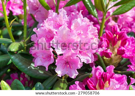 Blooming pink rhododendron. - stock photo