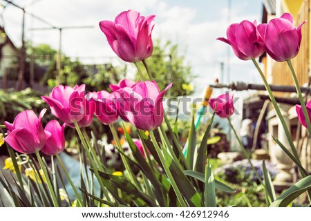 Blooming pink tulips planted in the spring garden. Seasonal natural scene. Hose pipe. Cultivating flowers. Beauty in nature. House and garden.  - stock photo