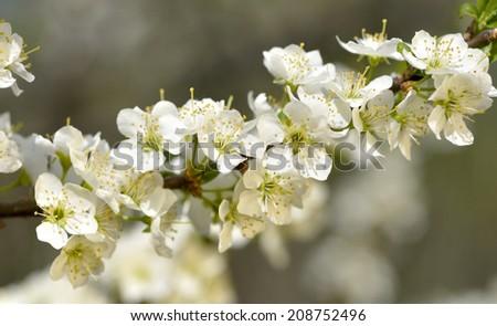 blooming plum - stock photo