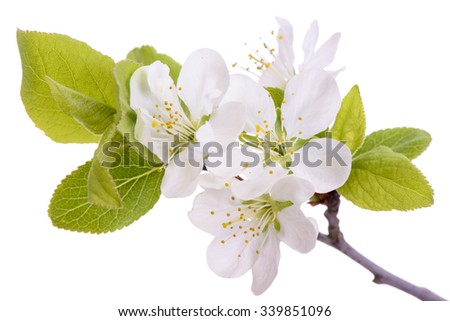 blooming plum tree and isolated over white background - stock photo