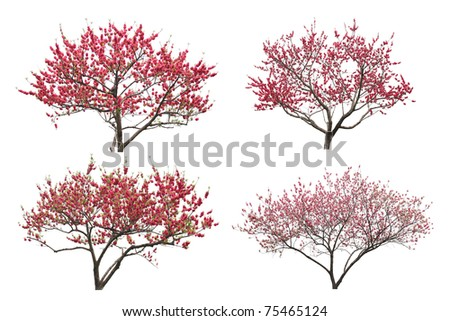 Blooming plum tree, isolated on white background. - stock photo