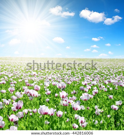 Blooming poppy field in sunny summer day - stock photo