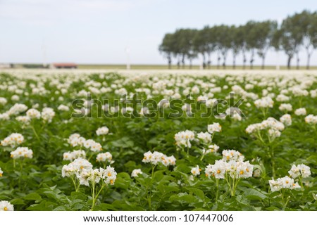 Blooming potato field in the Netherlands photographed with shallow depth - stock photo