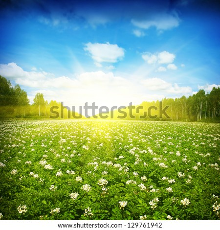 Blooming potato field,sun and trees on background. - stock photo