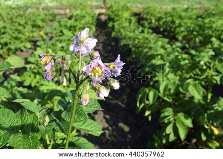 blooming potatoes in the vegetable garden on a sunny day - stock photo