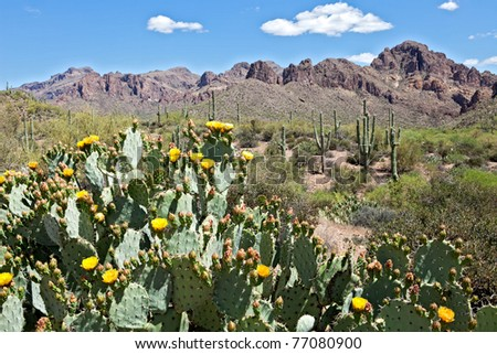 Blooming Prickly Pear Cactus in Superstition Wilderness. - stock photo