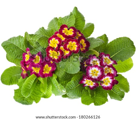 blooming primrose primula polyanthus in flowerpot isolated on white - stock photo