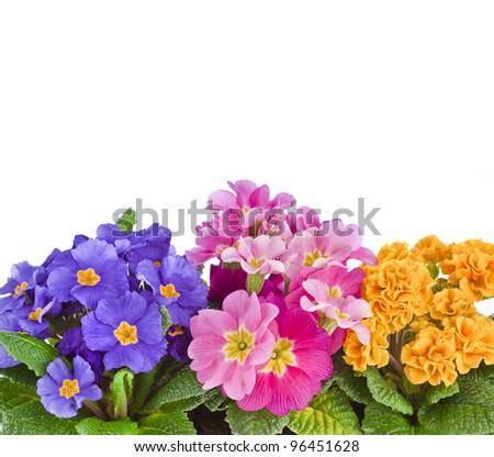 blooming primrose primula polyanthus isolated on white - stock photo