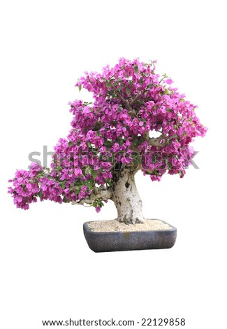 Blooming Purple Bougainvillea Bonsai Tree - stock photo