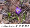 Blooming purple crocus grows in dry leaves macro, selective focus, shallow DOF - stock photo