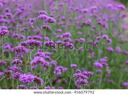 Blooming purple flowers in spring. selective focus - stock photo
