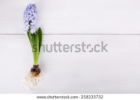 Blooming purple hyacinth bulb, leaves and roots on wooden white background. Copy space. - stock photo