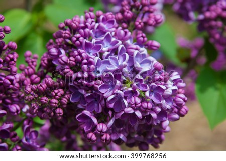 Blooming purple lilac - stock photo
