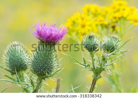 Blooming purple thistle in nature - stock photo
