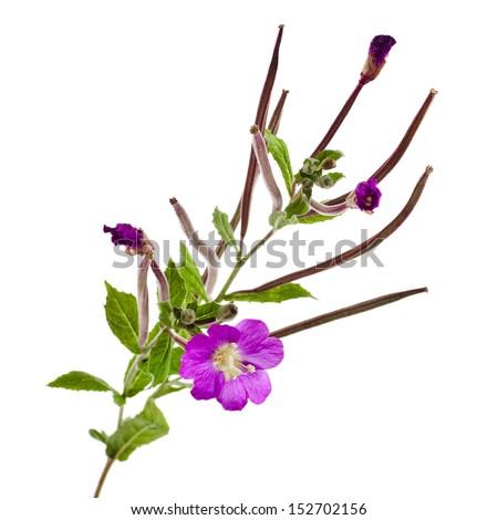blooming purple willow-herb flower (Great Willowherb, Epilobium hirsutum ) close up macro isolated on white background - stock photo