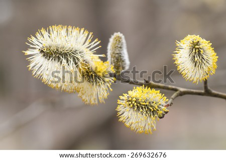 Blooming pussy willows on a tree branch. - stock photo