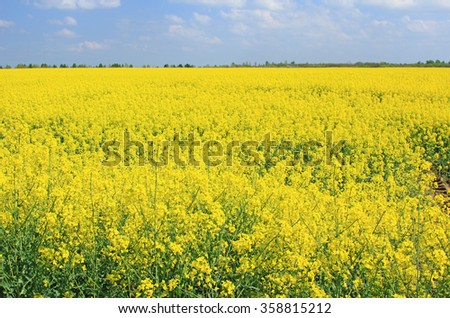 Blooming rapeseed field in front of blue sky, Saxony, Germany - stock photo