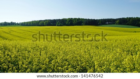 blooming rapeseed with blue sky - stock photo