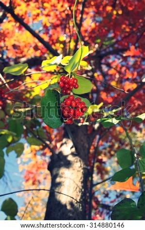 Blooming raspberry in autumn - stock photo