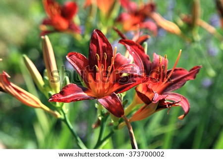 Blooming red daylilies - Hemerocallis - in country, rustic garden. - stock photo