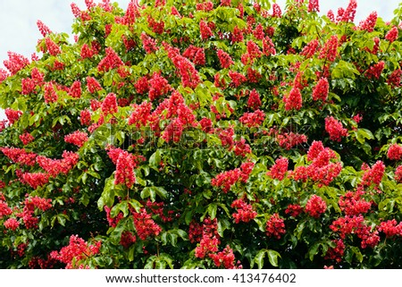 Blooming red flowers of a chestnut tree