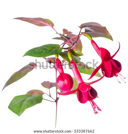 blooming red fuchsia flower is isolated on white background, `Marinka`, closeup - stock photo