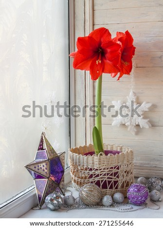 Blooming red Hippeastrum on the eve of Advent - stock photo