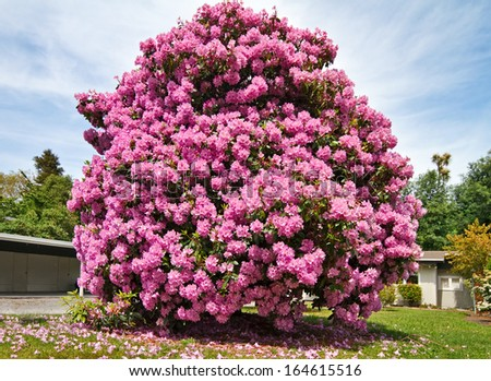 Blooming rhododendron in the front yard of New Zealand's home. - stock photo