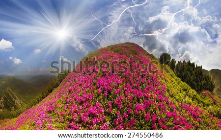 Blooming rhododendrons among alpine peaks is the eternal beauty and joy to the viewer traveling among forests and alpine peaks of Ukraine. Bloom from May to June. It is a symbol of extreme travel   - stock photo