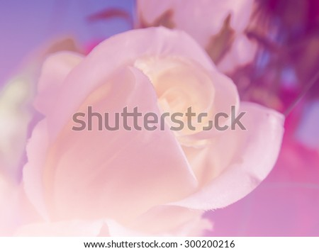 Blooming Rose in soft style and sweet color,defocus for background. - stock photo