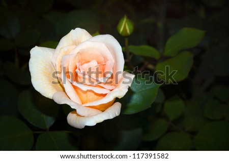 Blooming rose on a green leaves background - stock photo