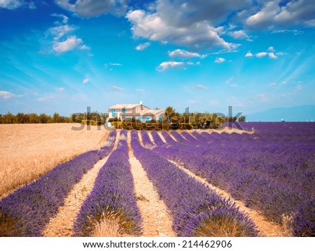Blooming rows of lavender flowers with beautiful sky at sunset - Provence. - stock photo