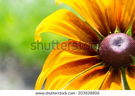 Blooming Rudbeckia (Black-eyed Susan flower) - stock photo
