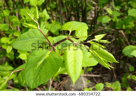 Blooming Sakhalin Knotweed or Fallopia sachalinensis in summer