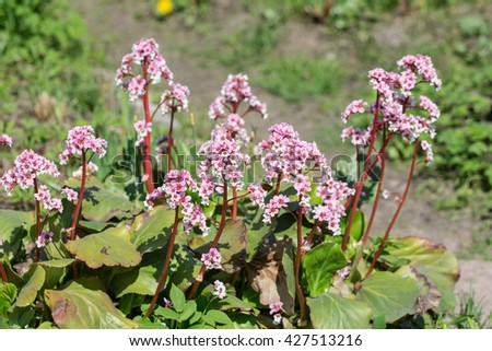 blooming saxifrage closeup in spring (Bergenia crassifolia) - stock photo