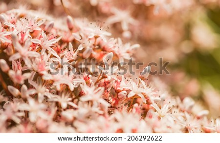 blooming sedum background - stock photo