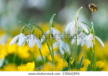 Blooming snowdrops and yellow Eranthis hyemalis in spring, in late February, early March. Close up, back light situation. Shallow depth of field. - stock photo