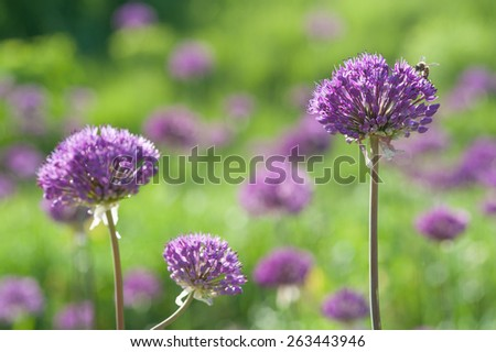 Blooming spring meadow purple lilac allium flowers - stock photo