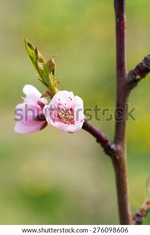 Blooming spring tree flower  - stock photo