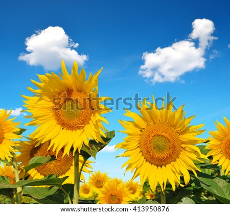 Blooming sunflower field in sunny summer day - stock photo